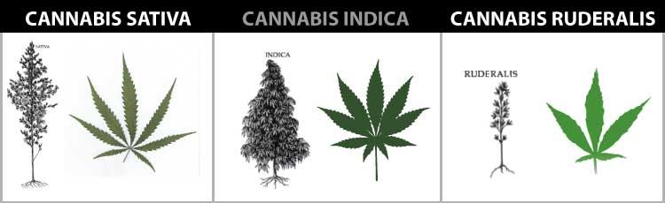 cannabis-sativa-indica-ruderalis